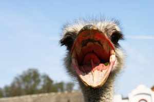 Wat zegt de struisvogel?